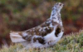 a white tailed ptarmigan sitting on moss