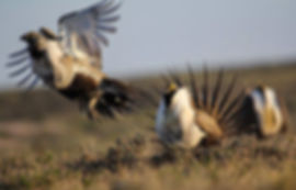 Three greater sage grouse males lekking. Two are displaying and one is flying off