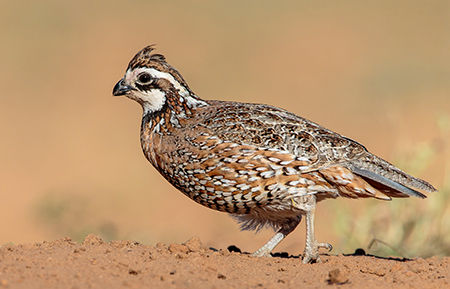 a northern bobwhite quail walking on dirt