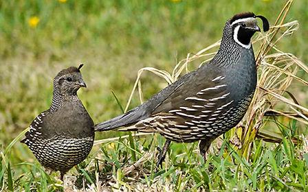 A male and female California quail walking through green grass
