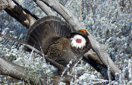 A male dusky grouse displaying in the snow on a log