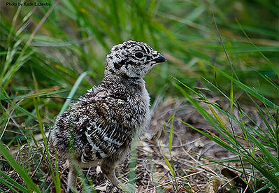 A greater sage grouse chick in the grass and forbs
