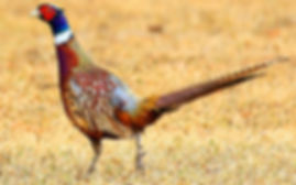 a male ring necked pheasant walking through a field with grass