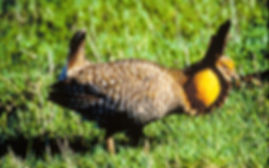 a male Attwater prairie chicken displaying on a lek
