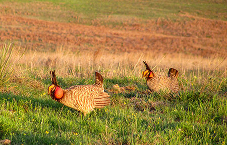 Two male lesser prairie chickens displaying on a lek