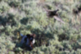Scout the dog flushing a female sage grouse in sagebrush