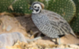 a male montezuma / mearns qual walking on dirt and rocks next to a cactus