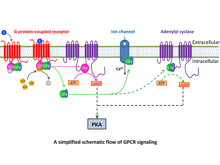 A simplified schematic flow of GPCR sign
