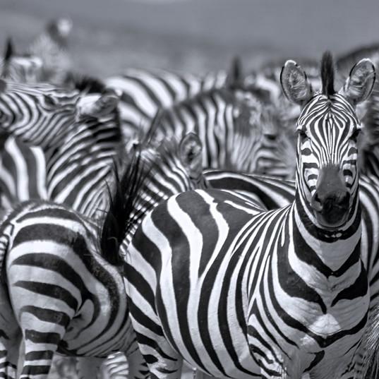 096_Black and white zebra.jpg