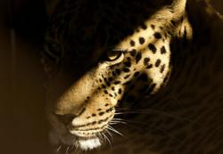 Leopard (31)