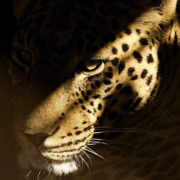 Leopard (31).jpg