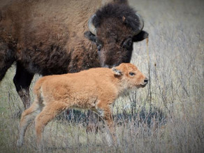 First Baby Bisons Spotted