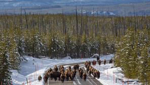 Yellowstone Roads are Being Plowed