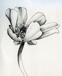 thumbnail_day4-buttercup-pen-drawing-cla