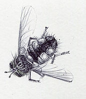 thumbnail_fly-biro-drawing-claire-harris