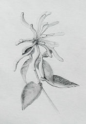 Honeysuckle_pencil_tonal_drawing_2.jpg