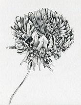 thumbnail_day6-pen-ink-flower-clover-dra