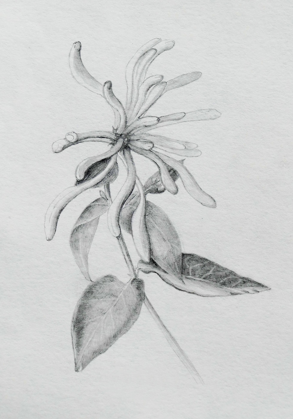 Honeysuckle_pencil_tonal_drawing_2.jpg