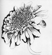 thumbnail_day9-scabious-pen-drawing-clai
