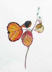 thumbnail_Autumn_Bramble[1].jpg