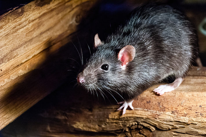 The black rat (Rattus rattus), also know