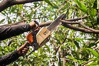 Lumberjack in a black shirt sawing a cha
