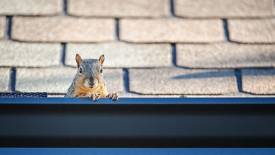 Squirrel peeking out from the gutter edg