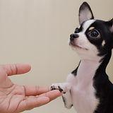 Chihuahua dog shake hand.jpg
