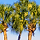 Thumbnail: Sabal Palm
