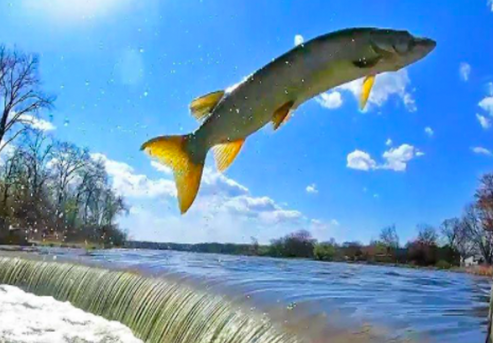 A photo of a fish jumping up and over waterfall