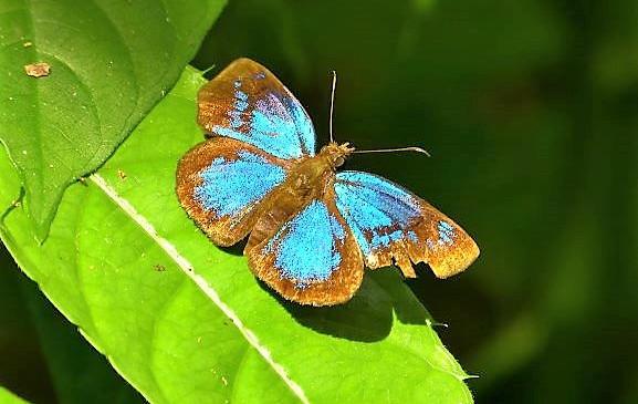 Beautiful butterfly in the jungle of the Darien Gap