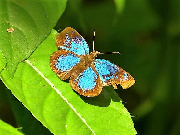 Beautiful butterfly in the jungle of the Darien Gap