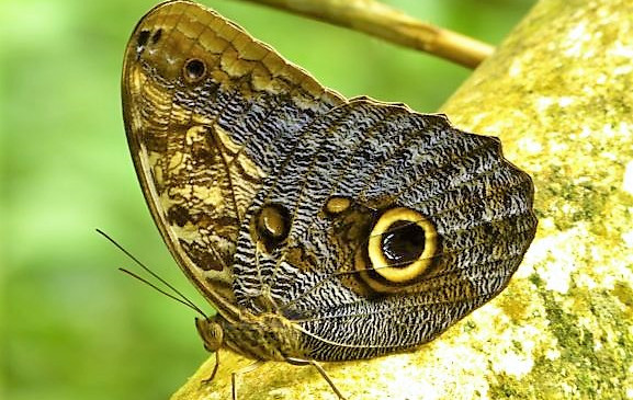 A gorgeous, rare butterfly in the Darien Jungle
