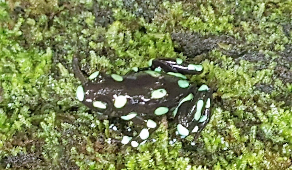 Poisenous Frog in the jungle of the Darien Gap of Panama
