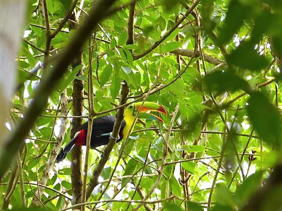 Toucan on a tree in the jungle of the Darien Gap