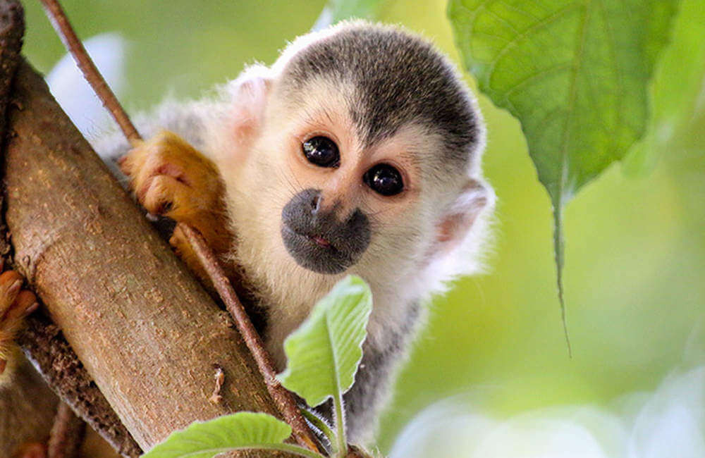 Costa Rica zipline adventure monkey sitting on branch