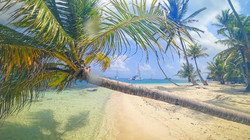 Coconut Palm tree San Blas island