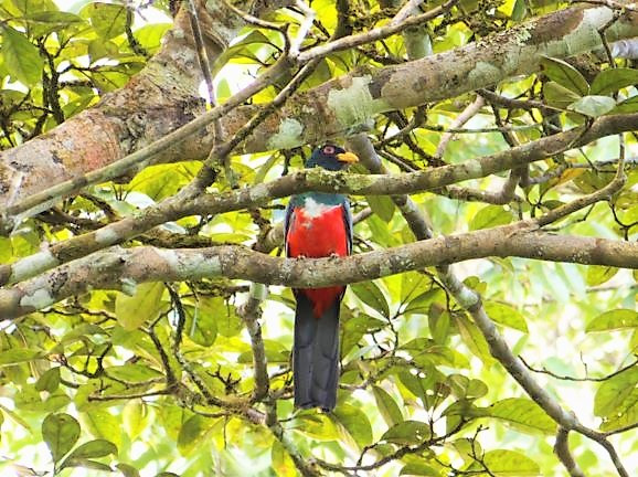 Beautiful red, endemic bird in the Darien Gap