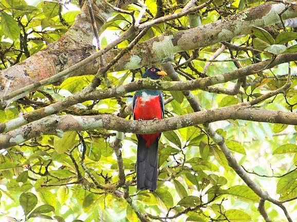 Beautiful red, endemic bird in the Darien Gap