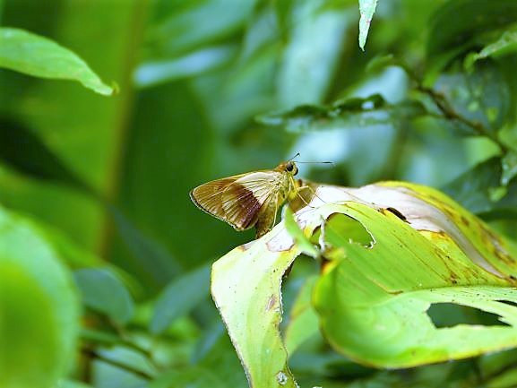 Panama Darian Gap Jungle expedition finds rare butterfly