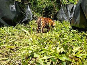 Sumatran Tigers release