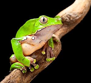 frog at night in amazon rain forest sitt