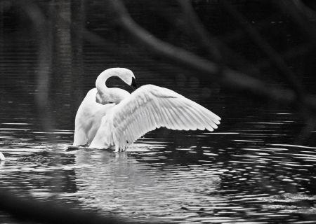swan3_thumb.jpg