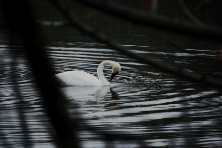 Swan1_thumb.jpg