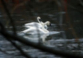 swan2_thumb.jpg