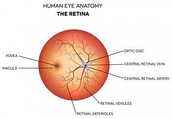 Anatomia Umana: la retina dell'occhio