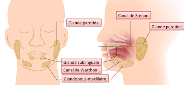 Glande Parotide