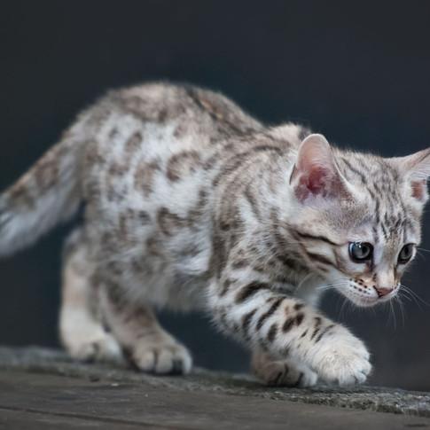Silver Bengalen Kitten