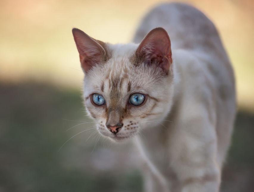 Varietät 'Lynx' mit unwiderstehlichen blauen Augen