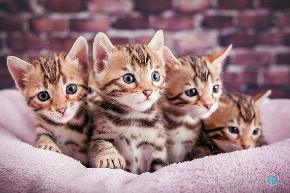 Bengal Kitten Brown